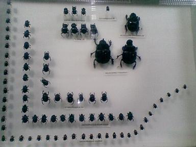 kumbang kecil...jpg