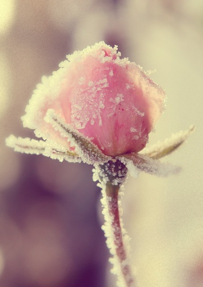 frozen rose~