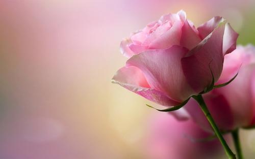 pink rose..