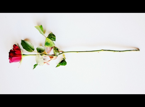 a rose... for you :)