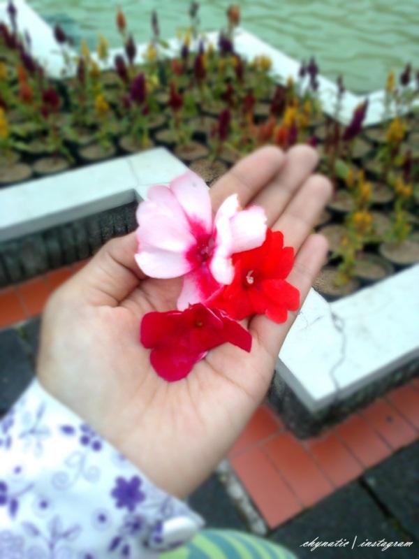 bunga dari si pipi gembil