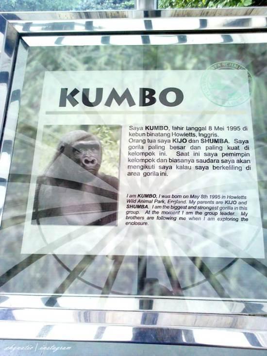 KUmbo, gorila bule..