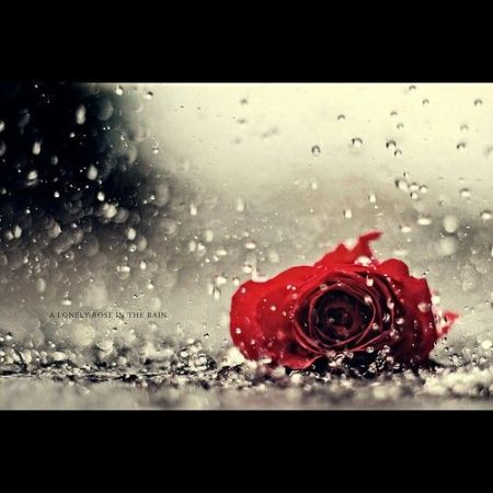 lonely rose in rain